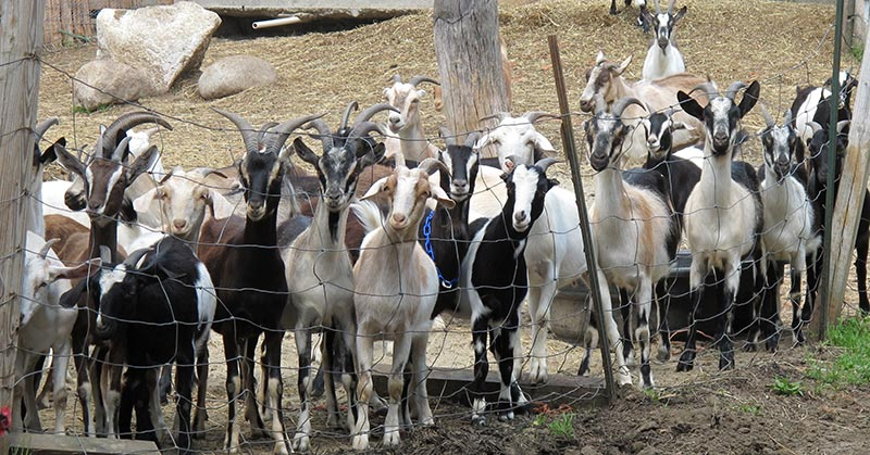 Group of animals in farm yard