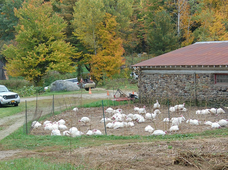 flock of white chickens