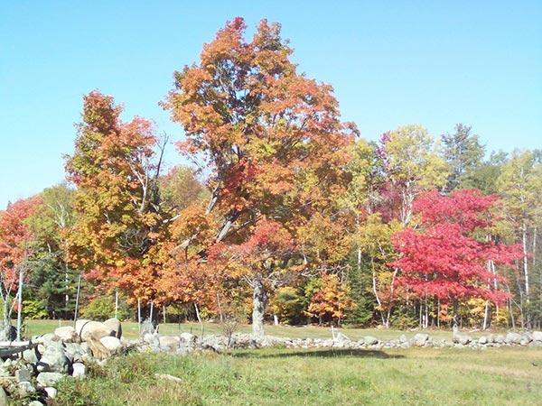 Fall leaves on tree on farm