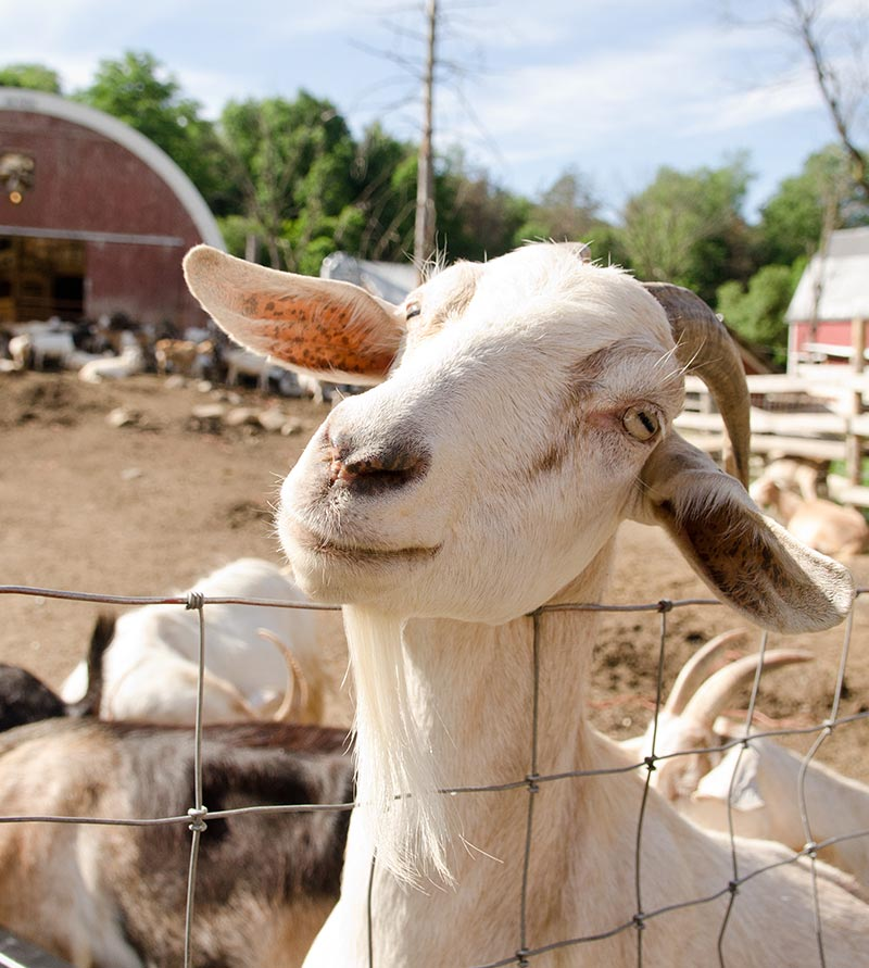 A goat near a barn on a farm