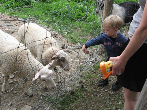 little boy feeding sheep