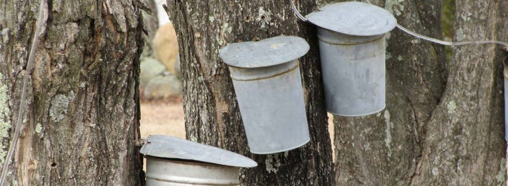 Sap buckets hanging on maple trees